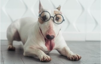 Bulletproof Miniature Bull Terriers  About for puppy sales